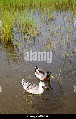 Male and female Mallard Anas platyrhynchos ducks on pond Anglesey Wales UK - Stock Photo
