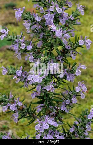 Rosmarinus 'Miss Jessop's Upright' Jessop Rosemary blue flower flowers garden plant plants herb herbs rosemarys - Stock Photo