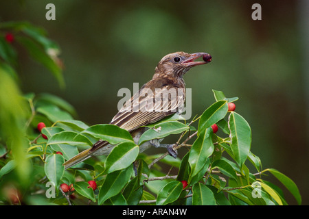 Figbird Sphecotheres viridis feeding Gladstone Queensland - Stock Photo
