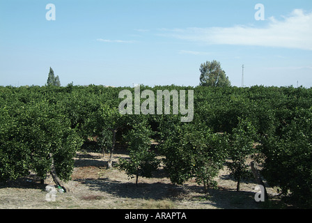 orange, lemon, citrus, fruit, groves, plantation, farm, growing, - Stock Photo