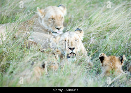 Pride of lions including cubs, plays in the evening sun  on the Masai Mara savannah, Kenya, East Africa. - Stock Photo