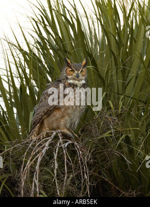 Great Horned owl in palm tree - Stock Photo