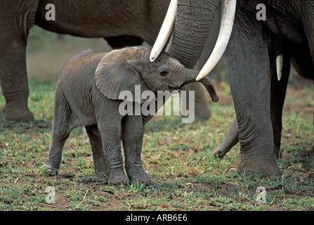 One hour old Elephant Loxodonta africana Amboseli National Park Kenya - Stock Photo