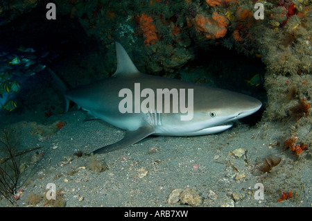 Caribbean Reef Shark Carcharhinus perezi sleeping in an underwater cave in Jupiter FL - Stock Photo