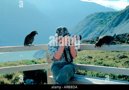 Curious Kea birds watching camera Mt Cook National Park South Island New Zealand - Stock Photo