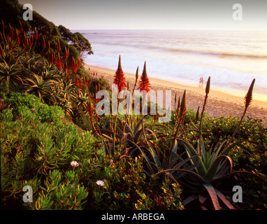 Aloe Vera Garden Laguna Beach Orange County California USA - Stock Photo