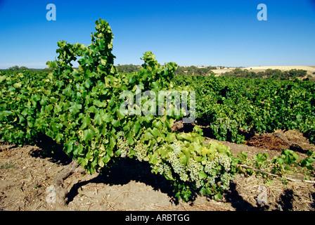 Vines at a winery vineyard, Barossa Valley, South Australia, Australia - Stock Photo