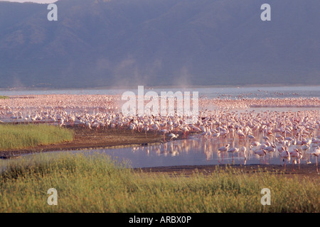 Flamingos, Lake Bogoria, Kenya, Africa - Stock Photo