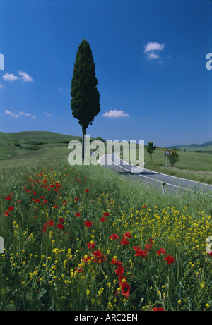 Wild flowers and cypress tree beside a country road near Volterra, Tuscany, Italy, Europe - Stock Photo