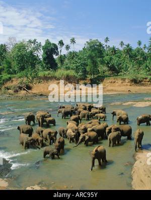 Elephants in the river, Pinnewala, Sri Lanka - Stock Photo