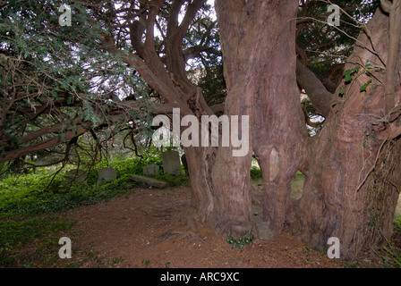 The thirteenth century church of St Peter s is surrounded by ancient yew Taxus baccata trees - Stock Photo