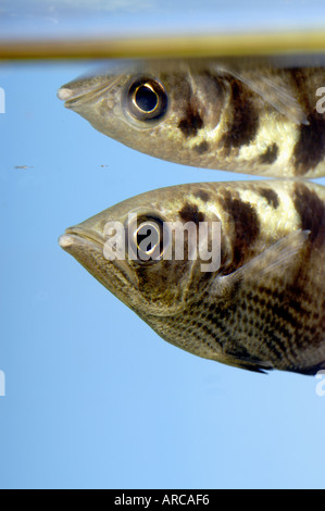 Archerfish Toxotidae In Fresh Water Stock Photo