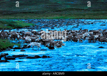 Rentiere durchqueren nachts nach dem Markieren der Kälber einen Fluß - Stock Photo