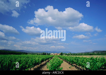 Vineyard under blue sky and white clouds, near Roussillon, Vaucluse, Provence, France, Europe - Stock Photo