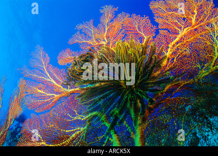 Featherstars perch on the edge of Gorgonian Sea Fans to feed in the current, Fiji, Pacific Ocean - Stock Photo
