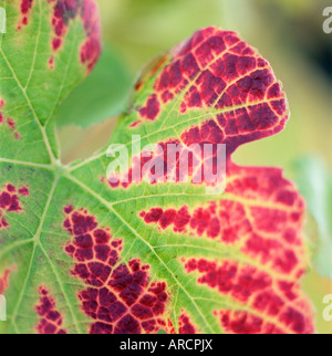 Close-up of a vine leaf in autumn - Stock Photo