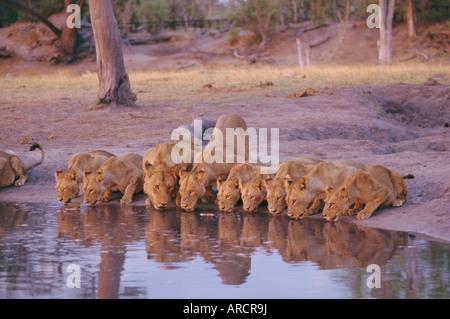 Lion (Panthera leo) at water hole, Okavango Delta, Botswana, Africa - Stock Photo