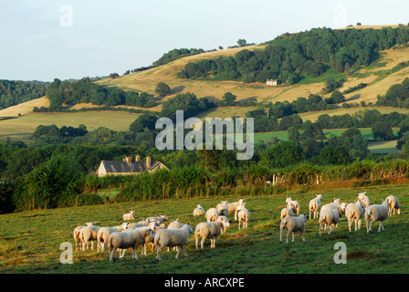 Sheep on Hay Common above Hay on Wye Mid Wales - Stock Photo