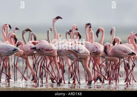 Lesser Flamingo's drinking at spring on shores of Lake Nakuru, Kenya. East Africa - Stock Photo