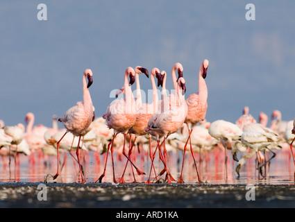 Lesser Flamingo's in courtship dance. Lake Nakuru, Kenya, East Africa - Stock Photo