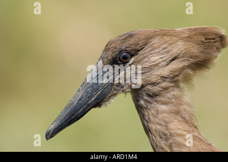 Hammerkop Scopus umbretta close-up of head Masai Mara Kenya - Stock Photo