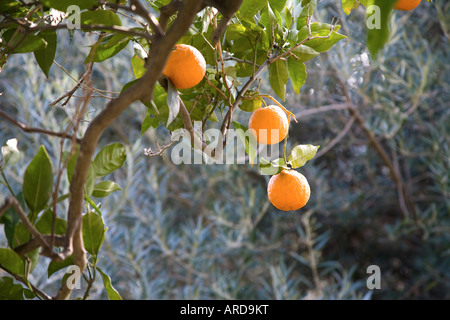 3 Oranges hanging on the branch of an orange tree in Andalucia Southern Spain - Stock Photo