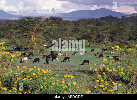 Grazing cattle on a modern farm near Lake Naivasha in the Great Rift Valley Kenya East Africa - Stock Photo