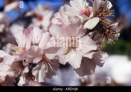 Almond blossom in January in Portugal's Algarve is the region's famed winter snow - Stock Photo