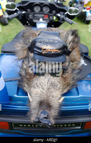 Harley Davidson Motorcycle real Hogs Head Mascot on Pillion.  XTR 3702-356 - Stock Photo