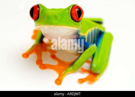 RED EYED TREEFROG Agalychnis callidryas - Stock Photo