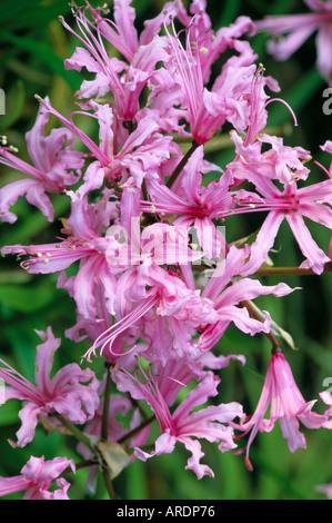 Nerine bowdenii - Stock Photo