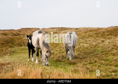 Stallion mare and foal rough grazing on Hay Bluff UK - Stock Photo
