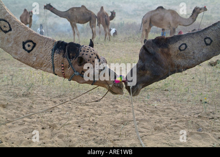 Camels at the Pushkar Camel Fair in India - Stock Photo