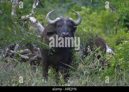 Buffalo in the bush at Imfolozi - Stock Photo