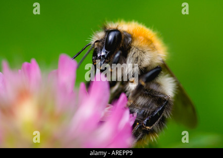 a bumblebee (bombus agrorum)  is sitting on a flower of a clover - Stock Photo