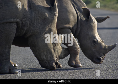 White rhino mother and calf at Hluhluwe. - Stock Photo