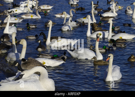 Wintering waterfowl - Stock Photo