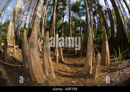 Bald Cypress Taxodium distichum along the banks of the Loxahatchee River in northern Palm Beach County FL - Stock Photo