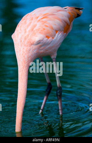 Caribbean flamingo also known as American Cuban rosy or West Indian Phoenicopterus ruber ruber - Stock Photo