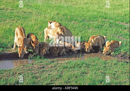 Pride of three adult female lionesses and nine cubs drinking at a pool in the Masai Mara National Reserve Kenya - Stock Photo