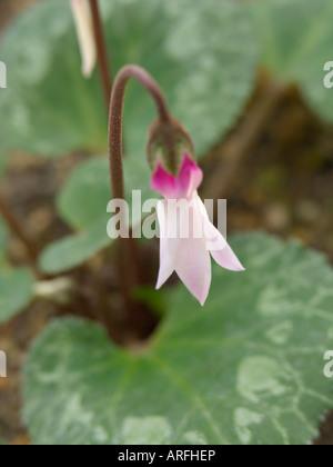 Persian cyclamen (Cyclamen persicum) - Stock Photo