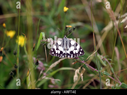 Female Marbled White butterfly in submissive position - Stock Photo
