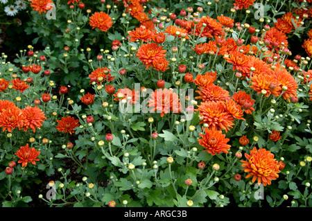 Chrysanthemum Compositae Bold Gretchen - Stock Photo