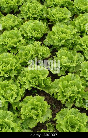 Lettuces growing on an organic farm, UK. - Stock Photo