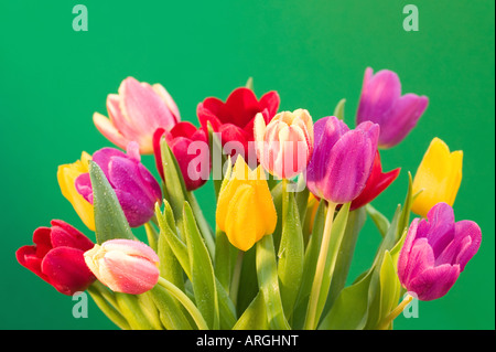A colourful display of fresh Tulips covered in water droplets against a green background - Stock Photo