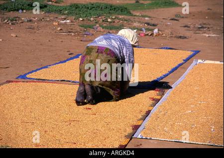 Woman laying Wheat Beni Mellal Tadla-Azilal Middle Atlas Morocco Maghreb Maghrebian Berber Arab Arabic Moroccan - Stock Photo