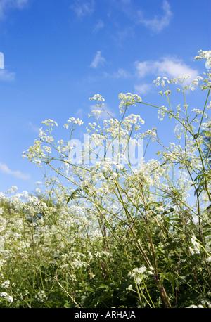 COMMON NAME: Cow parsley Latin name: Anthriscus Sylvestris - Stock Photo