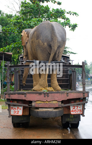 An elephant being transported on a truck - Stock Photo