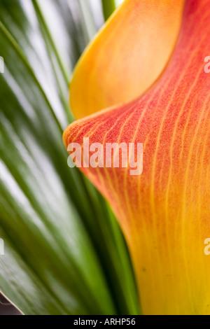 Macro shot of a Arum Lily - Stock Photo