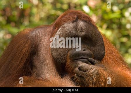 male orangutan Pongo pygmaeus looking thoughtful in the rain forest in Indonesia, Borneo - Stock Photo
